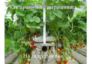 Как правильно выращивать на гидропонике